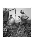 Cotton Weighing