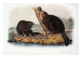 Audubon: Beaver  1846