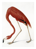 Audubon: American Flamingo