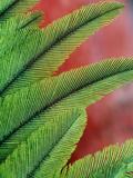 Resplendent Quetzal Feathers  Pharomachrus Mocinno  Costa Rica