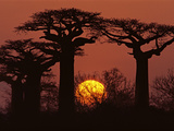 Baobabs in Winter  Adansonia Grandidieri  Western Madagascar