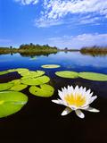 Day-Blooming Water Lily, Okavango Delta, Botswana Papier Photo par Frans Lanting