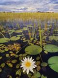 Water Lilies, Okavango Delta, Botswana Papier Photo par Frans Lanting