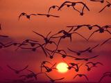 Shorebirds in Flight with Setting Sun  Delaware Bay  New Jersey