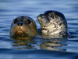 Harbor Seals, Phoca Vitulina, Monterey Bay, California Papier Photo par Frans Lanting