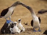 Blue-Footed Booby Pair with Chicks  Sula Nebouxii  Galapagos Islands