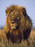 Lion, Panthera Leo, Chobe National Park, Botswana Papier Photo par Frans Lanting