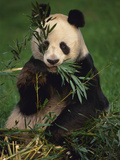 Giant Panda Eating Bamboo  Ailuropoda Melanoleuca  Native to China