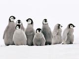 Emperor Penguin Chicks, Aptenodytes Forsteri, Weddell Sea, Antarctica Papier Photo par Frans Lanting
