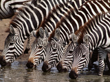 Zebras Drinking  Equus Quagga  Masai Mara Reserve  Kenya