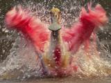 Roseate Spoonbill Bathing, Platalea Ajaja, Pantanal, Brazil Papier Photo par Frans Lanting