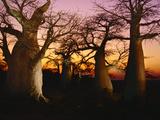 Baobabs at Sunset  Adansonia Digitata  Makgadikgadi Pans  Botswana