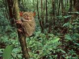 Western Tarsier Clinging to Tree  Tarsius Bancanus  Sabah  Borneo