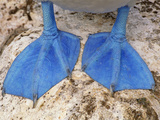 Blue-Footed Booby Feet  Sula Nebouxii  Galapagos Islands