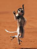 Verreaux's Sifaka Hopping  Propithecus Verreauxi  Berenty Reserve  Madagascar