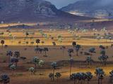 Palm Savanna  Horombe Plateau  Southern Madagascar