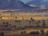 Palm Savanna, Horombe Plateau, Southern Madagascar Papier Photo par Frans Lanting