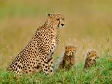 Cheetah and Cubs  Acinonyx Jubatus  Kenya
