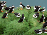 Atlantic Puffins on Grassy Cliff  Fratercula Arctica  Iceland