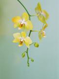 Orchid, Phalaenopsis Hybrid, Private Collection Papier Photo par Frans Lanting