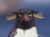 Rockhopper Penguin  Eudyptes Chrysocome  Falkland Islands