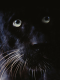 Black Leopard  Panthera Pardus  Native to Africa and Asia