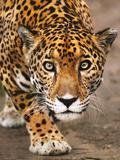 Jaguar Stalking, Panthera Onca, Belize Papier Photo par Frans Lanting
