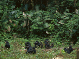Bonobo Family Group in Forest Clearing  Pan Paniscus  Congo (DRC)