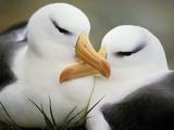 Black-Browed Albatrosses Courting, Thalassarche Melanophrys, South Georgia Island Papier Photo par Frans Lanting