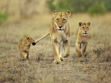Cub Holding onto Lioness Tail  Panthera Leo  Masai Mara Reserve  Kenya