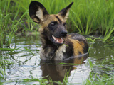 African Wild Dog Cooling Off in Water  Lycaon Pictus  Okavango Delta  Botswana