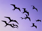 Magnificent Frigate Birds in Flight  Fregata Magnificens  Belize