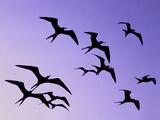 Magnificent Frigate Birds in Flight, Fregata Magnificens, Belize Papier Photo par Frans Lanting