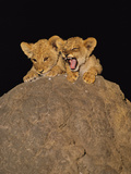 Lion Cubs on Termite Mound  Panthera Leo  Chobe National Park  Botswana