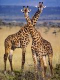 Masai Giraffes, Giraffa Camelopardalis Tippelskirchi, Masai Mara Reserve, Kenya Papier Photo par Frans Lanting
