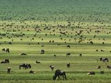 Wildebeests Grazing, Connochaetes Sp., Serengeti National Park, Tanzania Papier Photo par Frans Lanting