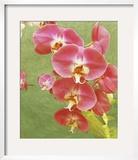 Non-embellished Island Orchid I