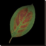 Hydrangea Leaf on Black