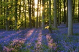 Bluebell Wood at Coton Manor