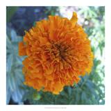 Marigold III