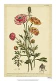Ranunculus, Pl. CCXVI Giclée par Phillip Miller