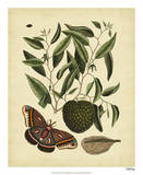 Catesby Moth  Pl T86