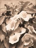 Convolvulus and Blackberries (Sepia)