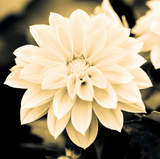 Dahlia Cream I