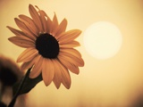 Environment: Sunflower Sunset Landscape Affected by Colorado Wildfires Near Boulder