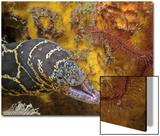 Chain Moray (Echidna Catenata)  Family Muraenidae  Caribbean