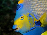 Queen Angelfish (Holacanthus Ciliaris)
