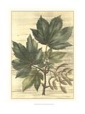 Weathered Maple Leaves II
