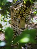 Jaguar (Panthera Onca)  Central America Jaguar (Panthera Onca) Linnaeus  Costa Rica