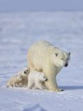 Mother Polar Bear with Three Cubs on the Tundra  Wapusk National Park  Manitoba  Canada